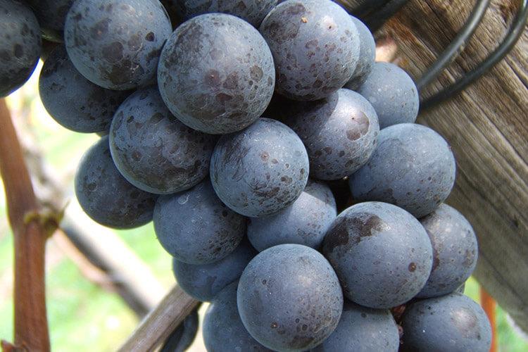 Winter Grapes - Tsuruta Steuben
