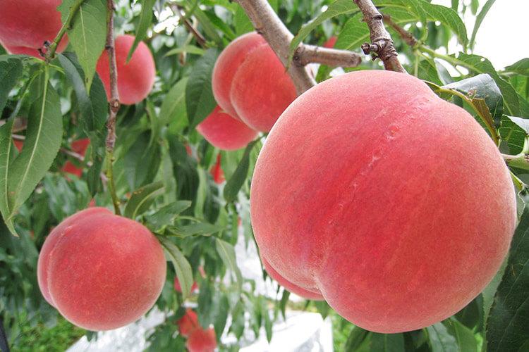 Tsugaru Peach
