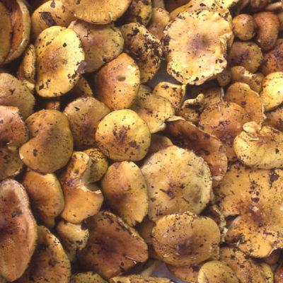 Naratake (Honey Mushroom)