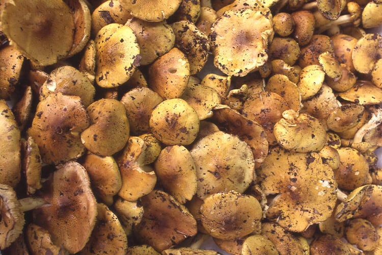 naratake, Honey Mushroom