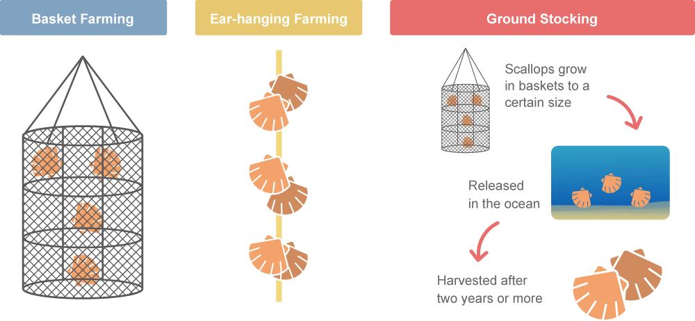 How Mutsu Bay Scallops Are Farmed